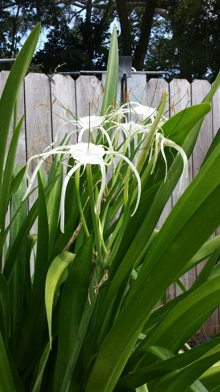 38 best strappy plants images on pinterest garden plants coastal hymenocallis thecheapjerseys Image collections