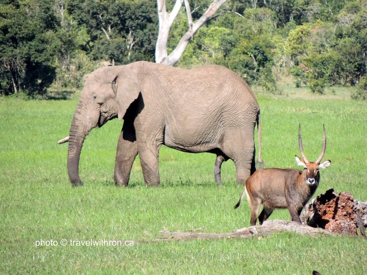 Great photo of an Africa Elephant and a Waterbuck in the swampy marsh of the Sweetwaters Game Reserve, Kenya.  travelwithron.ca