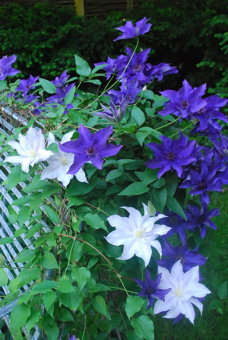 1000 images about clematis other vines on pinterest gardens sun and flower. Black Bedroom Furniture Sets. Home Design Ideas