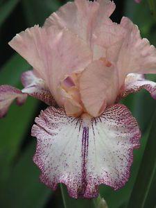 Tall Bearded Iris ♦♦♦ROMAN SONG♦♦♦