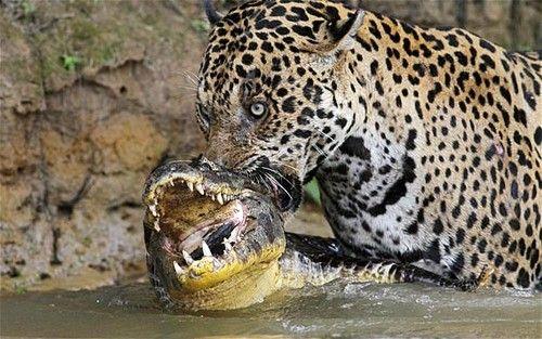 Felidae -  Pantherinae - Panthera - Panthera onca (Jaguar) : Como todos os felinos, a onça pintada é um carnívoro obrigatório, se alimentando somente de carne.   É um caçador oportunista e sua dieta inclui até 87 espécies de animais. Pode predar, teoricamente, qualquer vertebrado terrestre ou semi-aquático nas Américas Central e do Sul, com preferência por presas maiores.   Regularmente caça jacarés,preguiça, tamanduá , veado,capivara e até sucuri. Pode se alimentar ainda de peixe, sapo,rato…