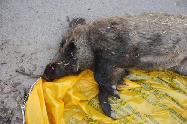 O familie din comuna Nistorești, județul Vrancea, a mâncat pastramă și cârnați din carne de mistreț cumpărata de la un vânator din zonă. Membrii familiei au aflat ulterior că produsele provin de la un porc mistreț infestat cu trichineloză. Trei echipe de medici veterinari au început o anchetă epidemiologică privind aceste cazuri.