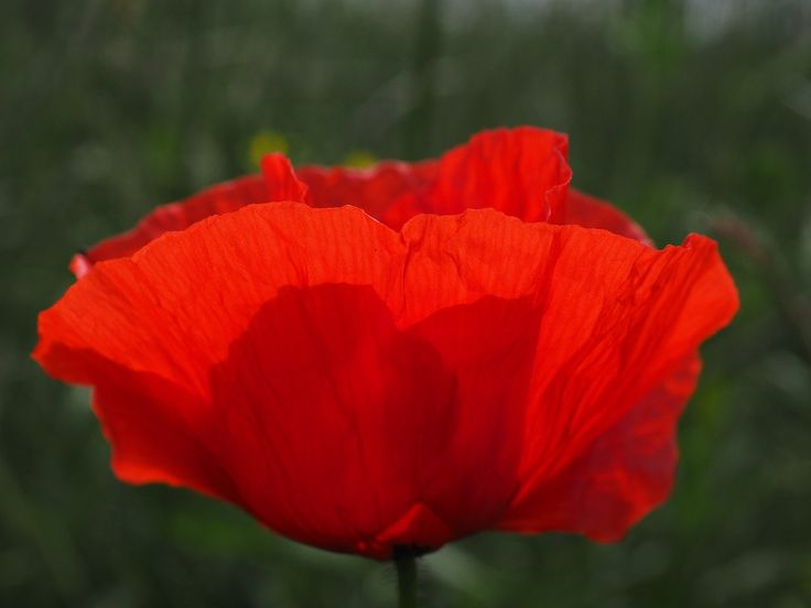Klatschmohn Poppy Flower Poppy Red Poppy Red