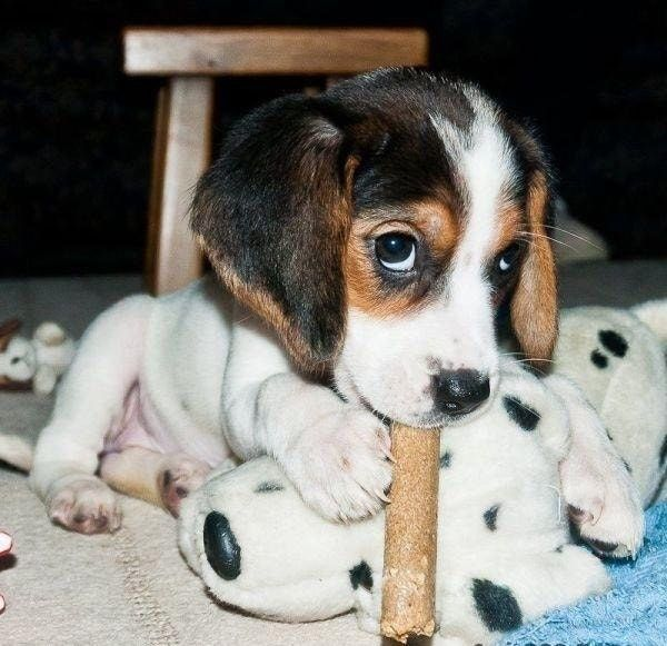 Here S 101 Puppies To Make Your Day A Little Better Cute Beagles