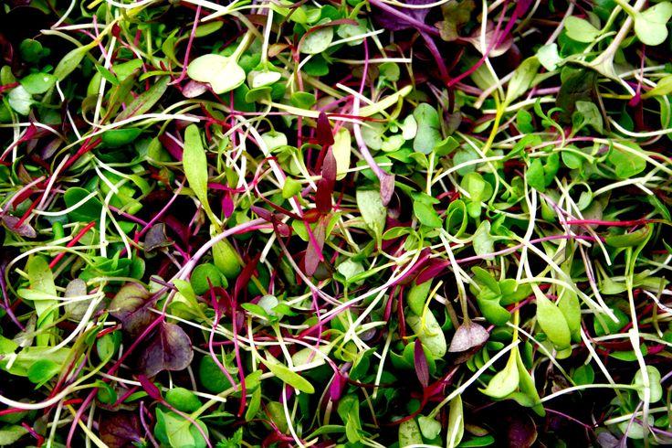 Rainbow microgreen mix from Pakaraka Permaculture.