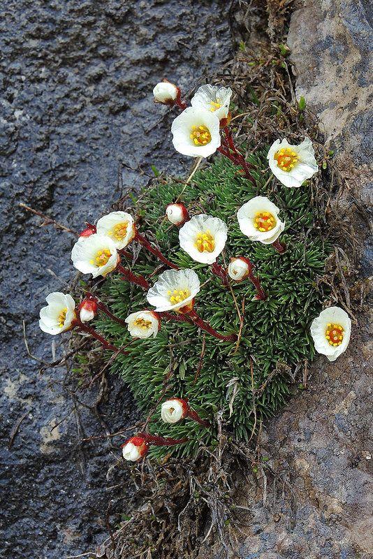 .SAXIFRAGA BURSERANA (Sassifraga di Burser. Bursers Steinbrech. Saxifrage de Burser. Burserjev kamnokreč). Saxifragaceae
