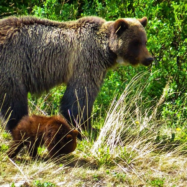 Bear 138 and new cub.  #cute #grizzly #bear
