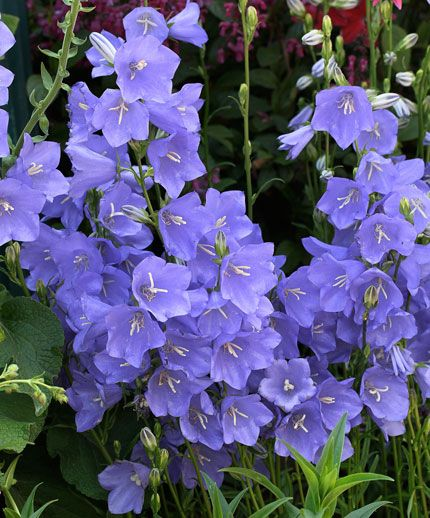 """Campanula persicifolia  'Telham Beauty' - Beautiful & large 2""""-3"""" flaring bell-shaped flowers are held outwards from vertical stems 3' tall & 2' wide.  ours bloomed from Spring till end of Summer, Nice, dense clump of shiny, slender mid green leaves can & probably should be divided after a year or two. Likes  rich, well-drained soil. Superb, long-lasting cut flowers & a perfect companion for Roses. USDA zones 3-10."""