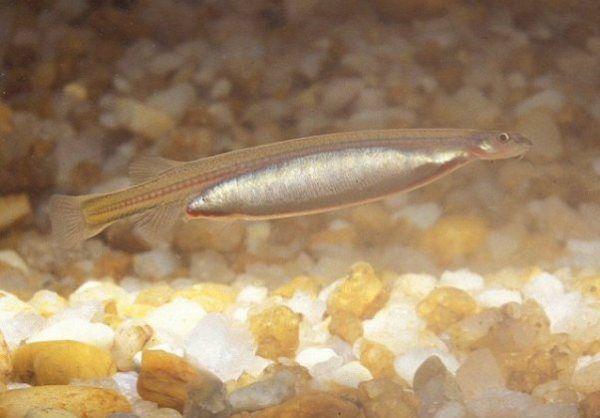 The Vampire Fish