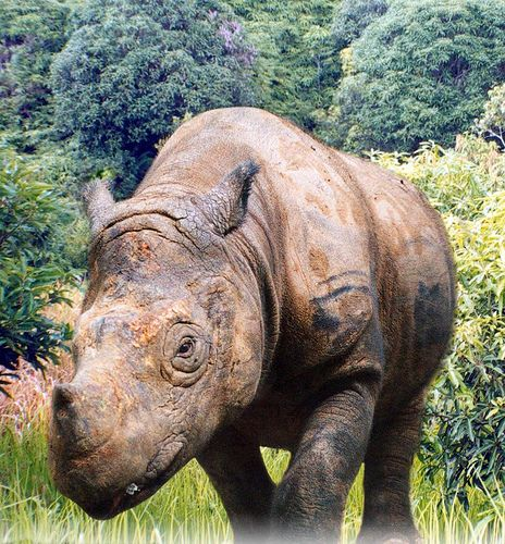 Javan rhinoceros is the most endangered of the world's five rhinoceros species, with an estimated 40-60 animals remaining on the western tip of the Island of Java (Indonesia) in Ujung Kulon National Park. The last member of another tiny population in Vietnam's Cat Tien National Park was killed by poachers in 2011.