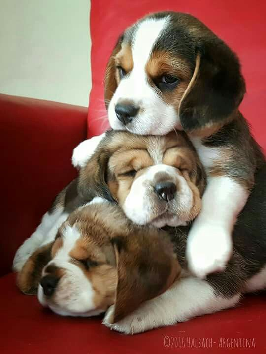 Pile of Beagle puppies <3