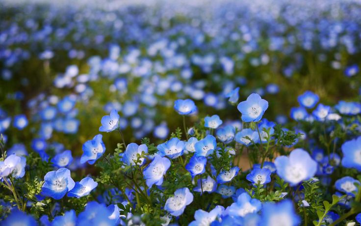 немофила, лепестки, голубые, цветы