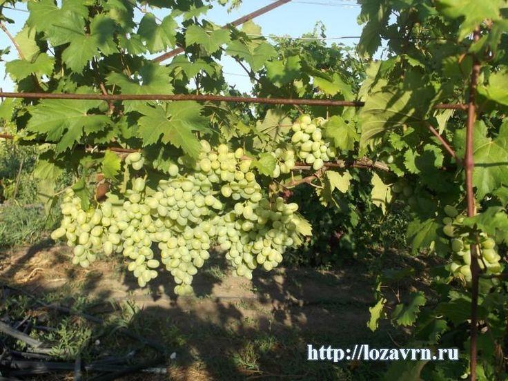 Олигарх - новая гибридная форма ранне-среднего срока созревания - сорта винограда на О - ВИНОГРАДНАЯ ЛОЗА