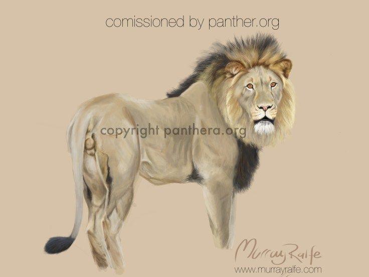 Sylvester the escapee lion