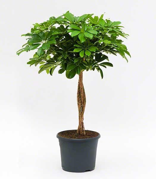 17 beste afbeeldingen over woonkamer planten op pinterest bomen huiskamers en facebook - Entretien d un ficus ...