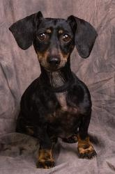 DAISY MAE is an adoptable Dachshund Dog in Anna, IL. Isn't little Daisy Mae just as cute as she can be!!  She is a purebred miniature Dachshund, and she was 7 years old when she came to PAWS on 4-3-13...