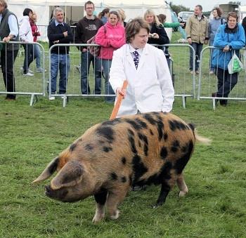 Oxford Sandy and Black pig.