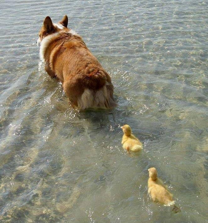 a mama Corgi and her 2... ducklings?