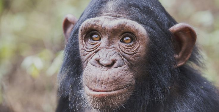 Chimpanzee-Ngamba-Island-Chimp-Tour-Uganda.jpg (1980×1020)