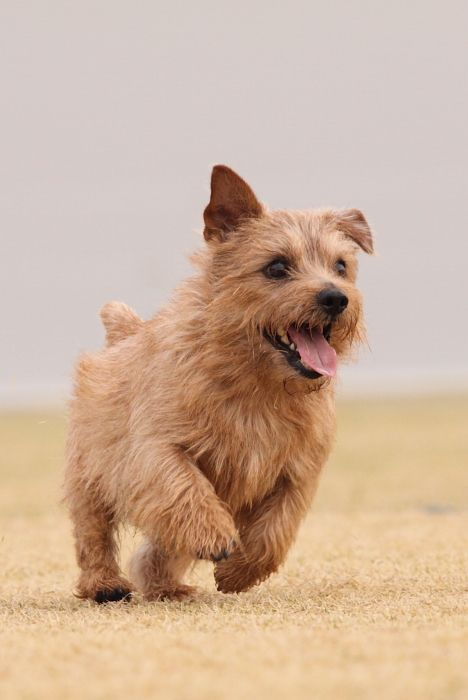 "The Norfolk Terrier is a British breed of dog. Prior to gaining recognition as an independent breed in 1960, it was a variety of the Norwich Terrier, distinguished from the ""prick eared"" Norwich by its ""drop ears"" (or folded ears). Together, the Norfolk and Norwich Terriers are the smallest of the working terriers. Wikipedia"