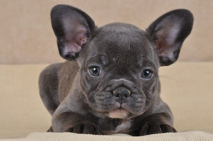1000 id es propos de g teau de bouledogue sur pinterest bulldogs de g orgie le football et. Black Bedroom Furniture Sets. Home Design Ideas