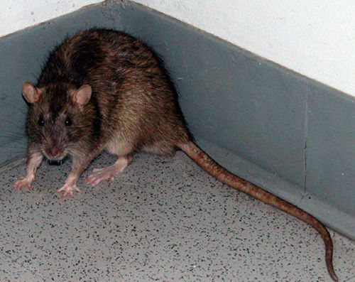 10 Best Images About Sewer Brown Norway Rats On