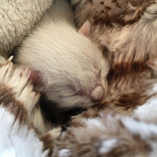 Der Winzling Hat Den Namen Gizmo Bekommen Ansprechen Tu Ich Ihn Derzeit Noch Mit So Worten Wie Mauseken Und Itzibitzi W Katzenliebhaber Susse Katzen Tierbabys