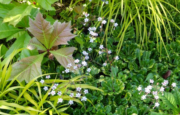 SAXIFRAGA LONDON PRIDE PLANTED WITH.. - RODGERSIA & BOWLES GOLDEN GRASS