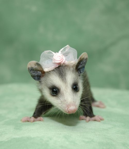 OH MY GOODNESS.   This makes me want to go find a baby opossum and put a bow on it! LOVEEEEEEE :)