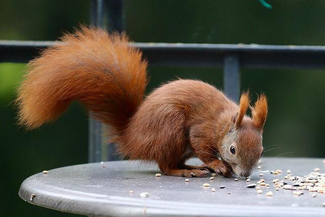 Kostenloses Bild auf Pixabay - Tier, Eichhörnchen, Natur, Wald