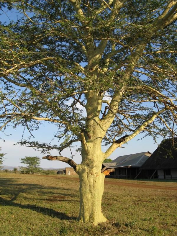 Fever Tree - Acacia xanthophloea Mimosaceae - Thorn tree family SA Tree no 189 This tree is only found near permanent water sources, such as rivers, ... - trees in pictures - Google Search