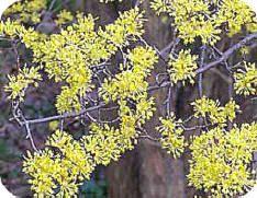 Cornus mas of de gele kornoelje: een struik vol gele bloemen in de winter - soorten cornus, snoeien,...