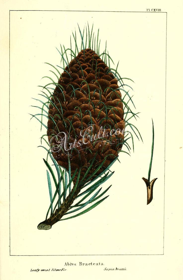 Leafy coned Silver Fir, abies bracteata      ...