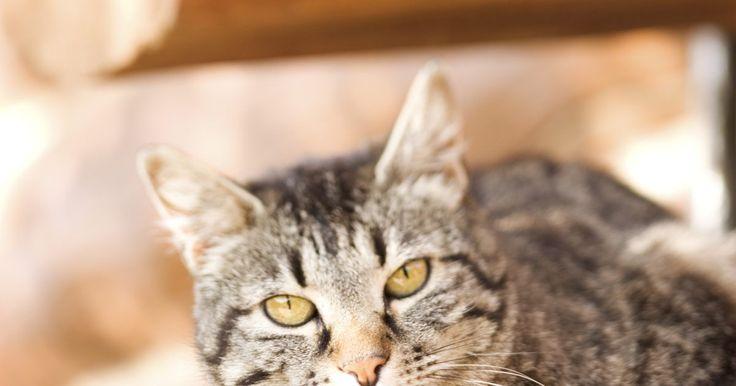Terra diatomácea para gatos. A terra diatomácea é uma substância natural em pó que traz muitos benefícios para os donos de animais. Além de combater as pulgas e ajudar a melhorar o poder de absorção da areia de gatos, ela possui ainda muitas outras utilidades. É uma excelente substituta para muitos produtos químicos, sendo a escolha ideal para aqueles que preferem usar ...