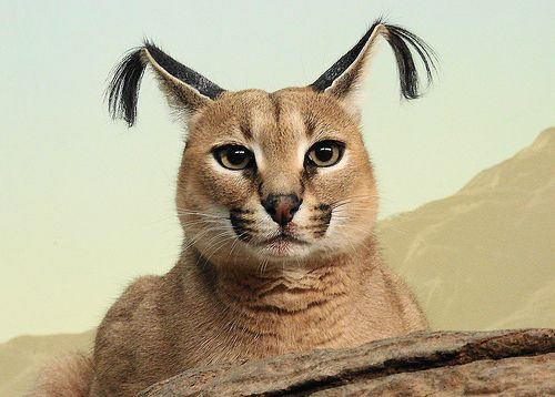 Caracal - There is no way in hell I can take this animal seriously