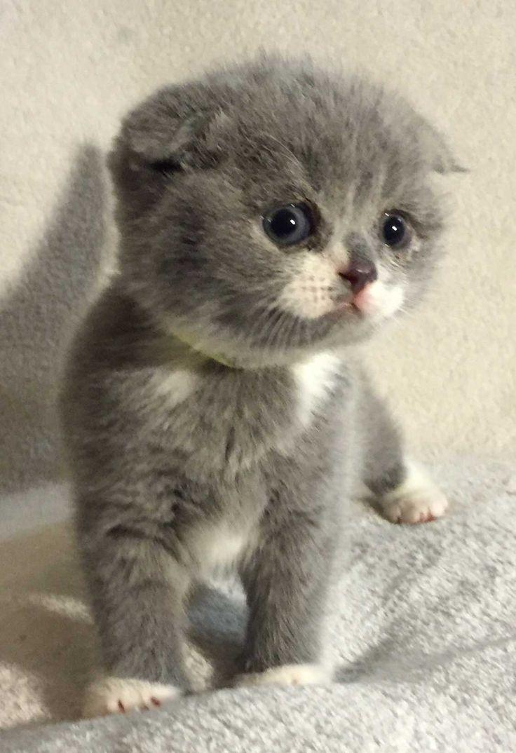 Scottish Fold Kittens for Sale Munchkin Cat Pinterest