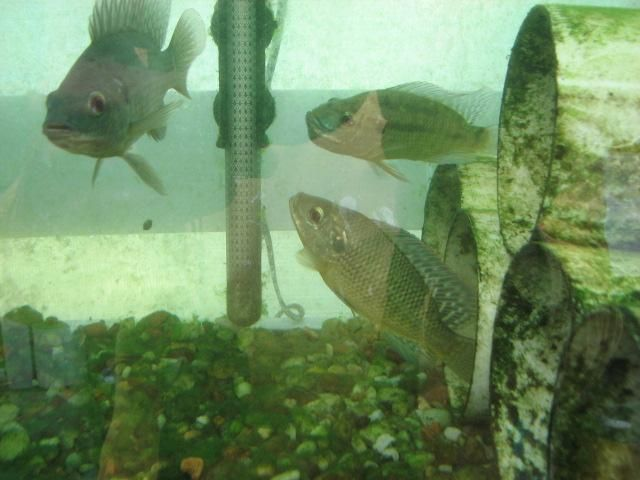 Tilapia Farming at Home- good website about raising tilapia. Under legal issues, it includes information about how to get permits in state in the United States