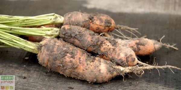 quand planter les carotte hiver