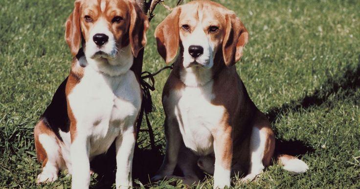 Defectos de nacimiento encontrados en los perros beagle. Los beagle son una raza de perro muy popular. Sin embargo, como cualquier raza, los beagle pueden estar aquejados con defectos de nacimiento, algunos de los cuales son evidentes cuando nacen. El rango de enfermedades van desde aquellas en las que se debe sacrificar a los cachorros hasta otras que se pueden manejar con cuidado médico regularmente.