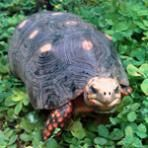 Family Tortoise Thought Lost for 30 Years Turns Up Alive in Storage Closet | News from the Field | OutsideOnline.com