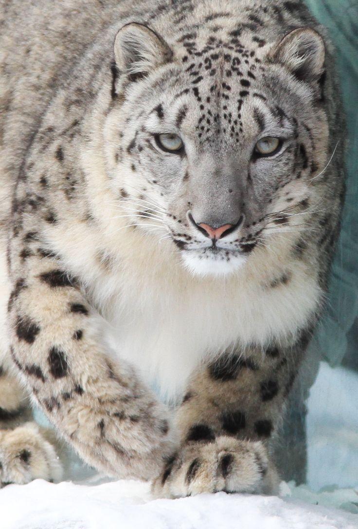 Snow Leopard Stare -