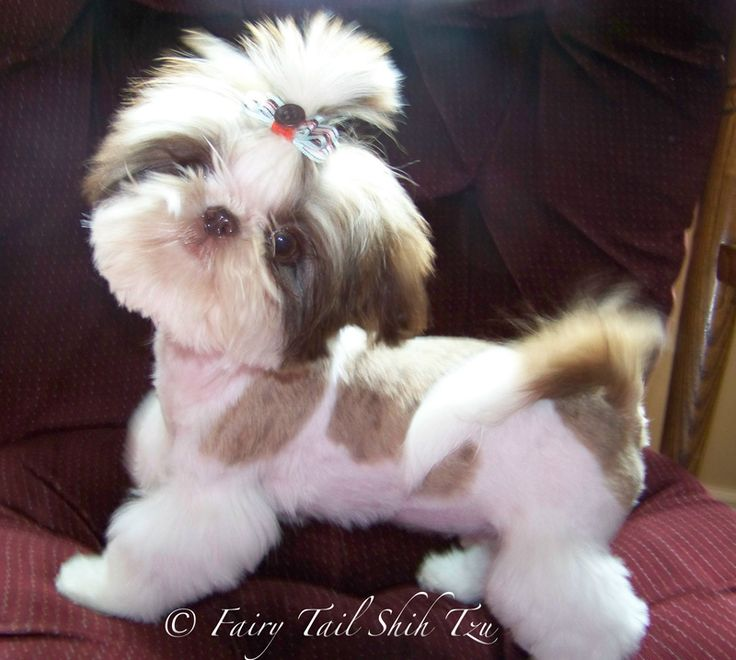images of teacup shih tzu   Retired Fairy Tail Shih Tzu Mom's & Dads: