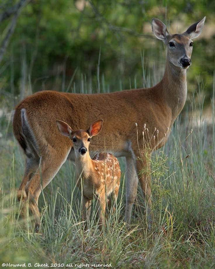 baby whitetail fawn in - photo #45