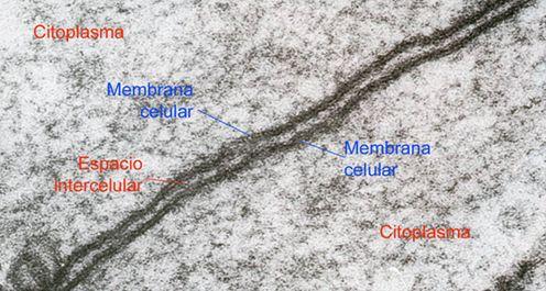 Membrana plasmática. MET.