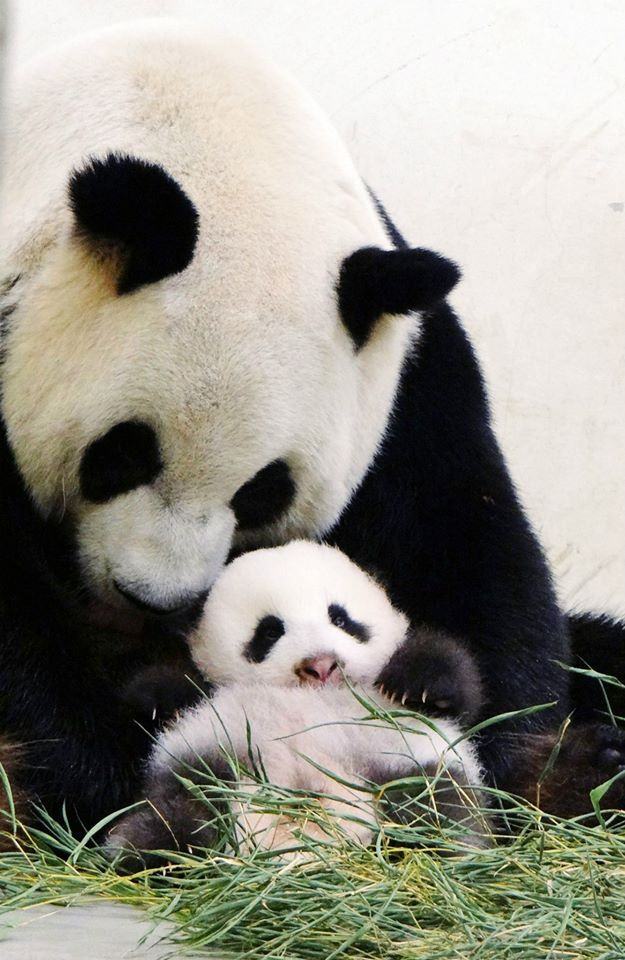 This photograph released by the Taipei City Zoo shows giant panda Yuan Yuan (L) holding her baby panda, Yuan Zai (bottom), at the Taipei City Zoo. The cub, the first panda born in Taiwan, was delivered on July 7 following a series of artificial insemination sessions after her parents, Yuan Yuan and her partner Tuan Tuan, failed to conceive naturally. (AFP PHOTO / Taipei City Zoo)