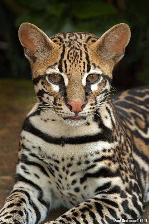 Margay or Ocelot? This beautiful animal is called both on Pinterest.