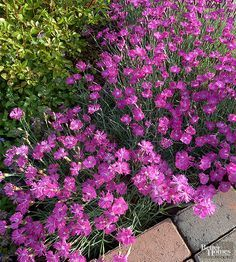 This butterfly magnet is one of the longest flowering perennials -- up to 4 weeks. Stunning pink flowers with fringed edges cover each plant. Dianthus, also called pinks, are members of the carnation family and have a pleasant clove-like fragrance. 'Firewitch' loves normal to sandy soils and easily tolerates hot dry summers. Plants grow in spreading low mats, reaching 10 to 12 inches tall. Care tip: After the plants have bloomed, shear off the faded flowers and stems (a couple inches off…