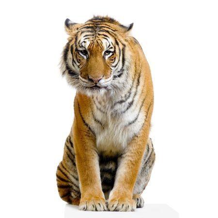 Een mooie, stoere foto muursticker van een tijger. In drie formaten verkrijgbaar.