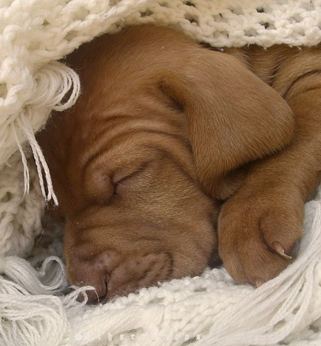 One month old Vizsla pup