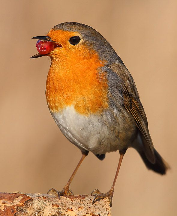 Robin :Some birds can sense the Earth's magnetic field and orientate themselves with the ease of a compass needle. This ability is a massive boon for migrating birds, keeping frequent flyers on the straight and narrow. This incredible sense is closely tied to the sense of  vision. Birds like the European robins can literally see magnetic fields as patterns of light and shade, or even colour, superimposed onto what they normally see, because of the special molecules in the retina